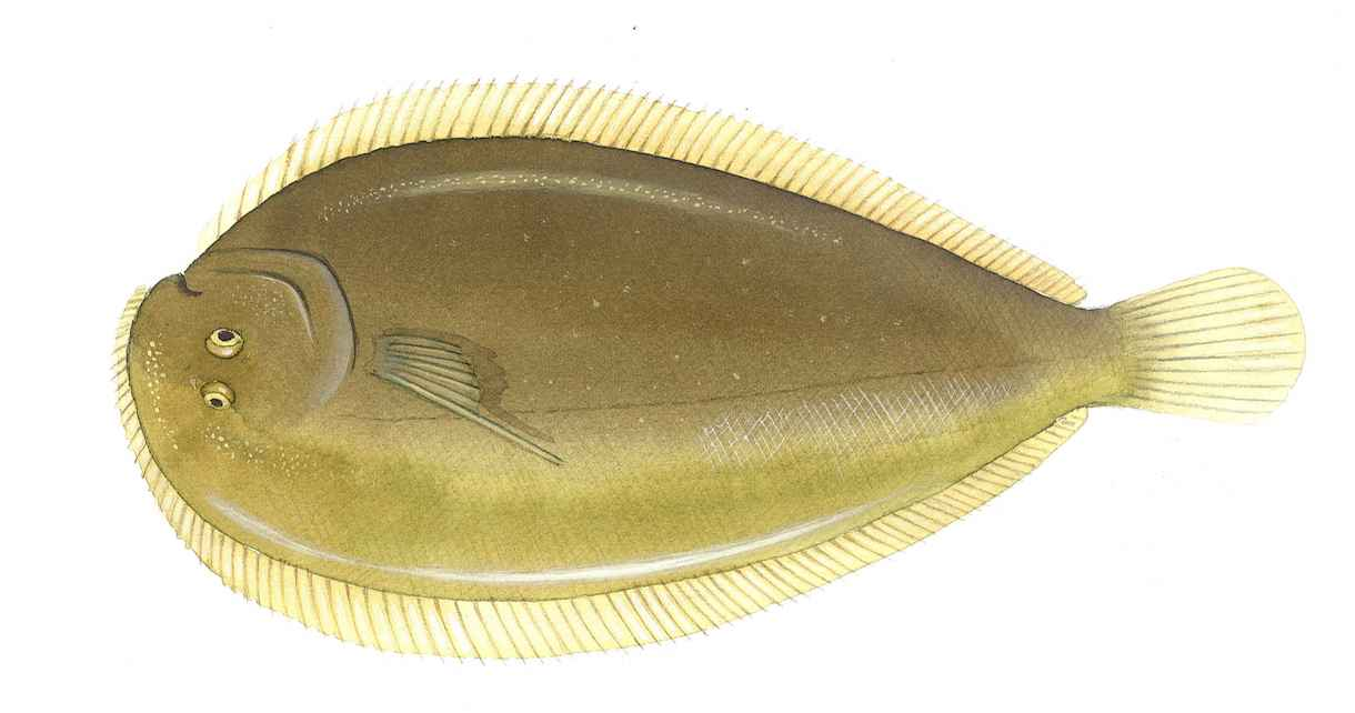 New Zealand Sole Rand Aqua