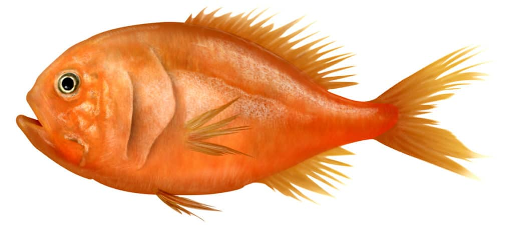 Orange Roughy Rand Aqua